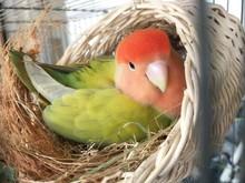Little Parrot or Lovebird