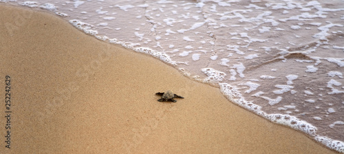 Baby turtles making it's way to the ocean Canvas-taulu