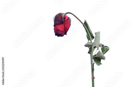 Fotografie, Obraz Red rose wither isolated on white background.