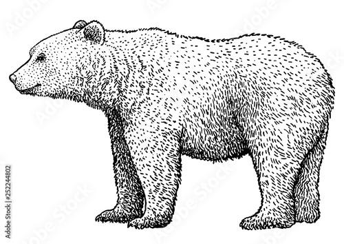 Brown bear illustration, drawing, engraving, ink, line art, vector Canvas Print