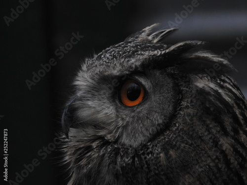 Fototapeta Owl's Deadly Eye obraz na płótnie