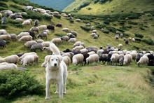 A Shepherd Dog In A Tenderness...