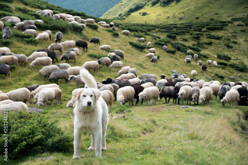 Spoed Fotobehang Schapen A shepherd dog in a tenderness moment with the sheep he guards