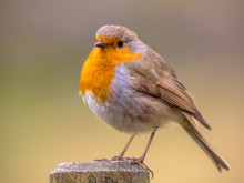 Red Robin On Bright Background