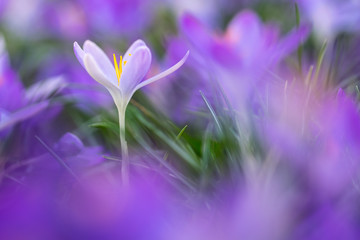 Wiosenni posłańcy: fioletowe krokusy na białym tle