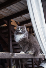 Cute Gray Cat Sitting On The Wooden Veranda Of The House Outdoor