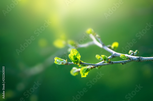 Fototapeta Fresh young green leaves of twig tree growing in spring. Beautiful green leaf nature outdoor background with copy space obraz