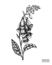Vector Foxglove Drawing. Hand Drawn Floral Illustration. Spring Flower Sketch. Vintage Botanical Elements. Black And White.