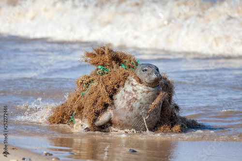 Photo  Plastic pollution and animal harm. Seal caught in fishing net.