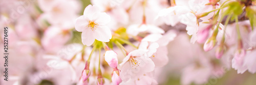 Fotobehang Kersenbloesem Cherry tree blossom, spring panoramic background