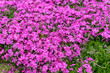 Leinwanddruck Bild - Background with small moss pink flowers, moss phlox