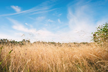 Tall Dry Grass In The Summer Under A Blue Sky