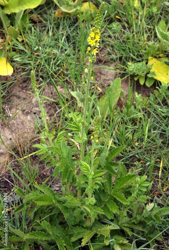 Photo Common agrimony Agrimonia eupatoria
