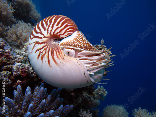 Fototapeta  Incredible underwater world - Nautilus pompilius