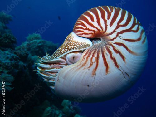 Obraz na plátně  Incredible underwater world - Nautilus pompilius