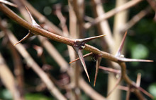 Thorn Prickles Black Locust