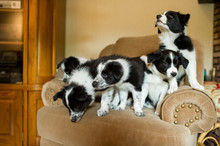 Five Puppies On An Armchair