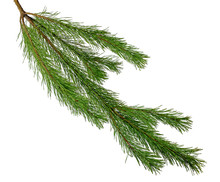 Lush Pine Branches. Isolated. Fragrant Festive Decor. Nature.