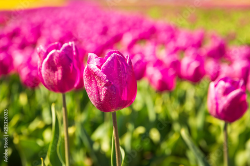 Poster Rose Closeup of pink tulips in a Dutch tulips field flowerbed under a blue sky