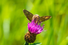 Day Active Silver Y Autographa Gamma Moth Pollinating On Pink And Purple Thistle Flowers
