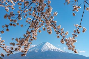 FototapetaClose-up snow covered Mount Fuji ( Mt. Fuji ) with blue sky background in pink sakura cherry blossoms springtime sunny day. Lake Kawaguchiko, Town Fujikawaguchiko, Yamanashi Prefecture, Japan