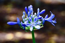 Blaue Agapanthus