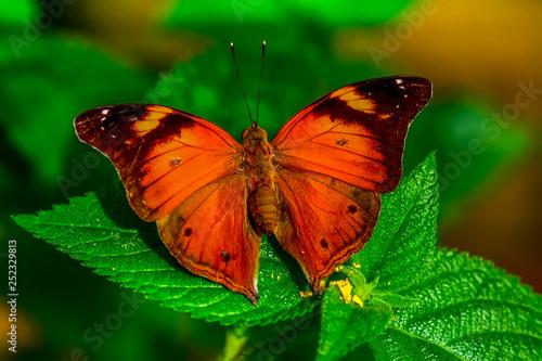 Poster Butterfly Closeup beautiful butterfly sitting on flower. Doleschallia bisaltide