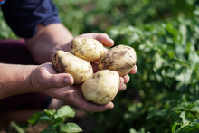 Farm Garden With Green Potatoe...