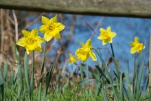 A Clump Of Bright Yellow Daffodils On Green Stems In Vivid Sunlight In Front Of Wooden Fence
