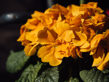 Yellow Orange Primrose Or Primula With Flowering Blossoms In Bright Sunlight, Close Up With Selective Focus