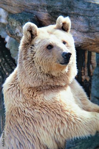 Fotografie, Obraz  orsi animali di paesi freddi