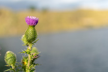 Musk Thistle On Background Of ...