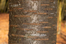 Tree Bark Texture Of Prunus Av...