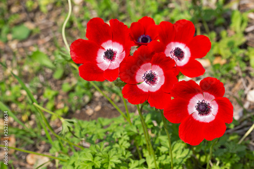 Canvas-taulu red anemones in israel close up