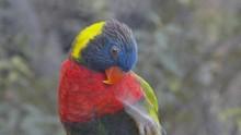 Green-Naped Lorikeet At Zoo