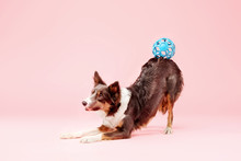 Border Collie Dog In The Photo Studio On Pink Background