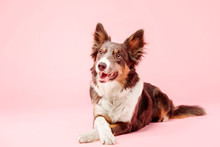 Border Collie Dog In The Photo...