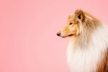 Cute Rough Collie Dog On Pink Background