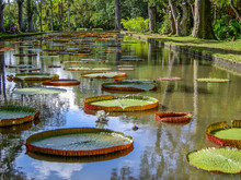 Giant Waterlilies, ( Victoria Amazonica ) In Crystal Clear Water At The Long Pond, Pamplemousses, Mauritius, With Tree Trunks In The Background.