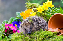 Hedgehog In Springtime.  Wild, Native Hedgehog  In Natural Habitat With Colourful Spring Flowers, Green Moss, Yellow Daffodils And A Plant Pot.  Horizontal