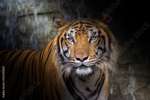 Poster de jardin Tigre The face of Indochina tiger.
