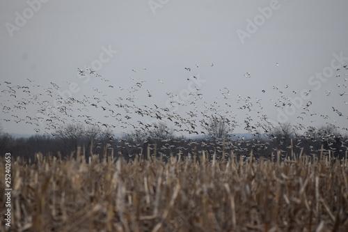 Fotografija Winter Corn Field