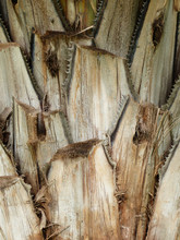 Bark Palms , Upper Trunk Detail Of Palm Tree Background Texture