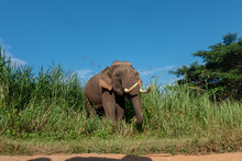 Asiatic Or Asian Elephant In Farm With Blue Sky Background.