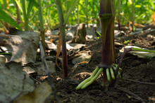 The Root Of The Stem Of The Corn Tree, Air Roots.