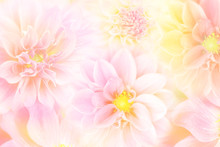 Soft Dahlia Flower In Peach Tone Spring Background With Copy Space