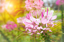 Beautiful Pink Cleome Spinosa ...