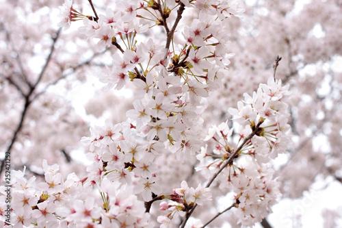Photo  Japanese cherry blossom trees, sakura