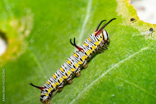 Fotografía  monarch butterfly caterpillar on leaf