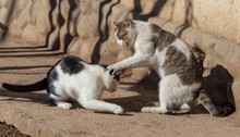 Two Cats Fighting In Nature